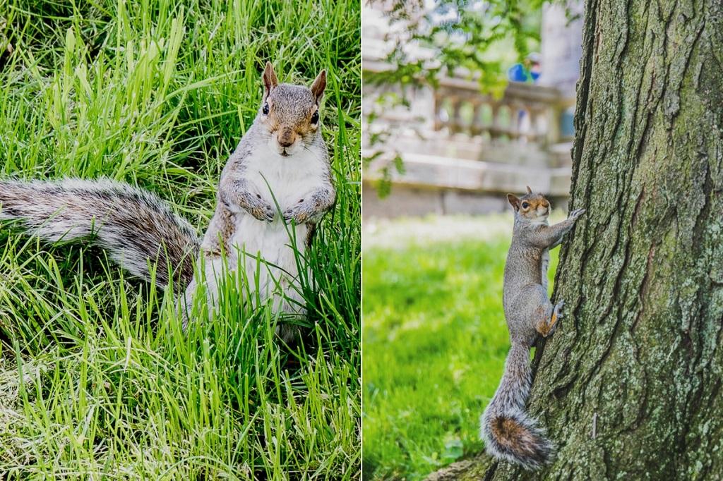 In New York findet man in den kleinen Parks überall graue Eichhörnchen